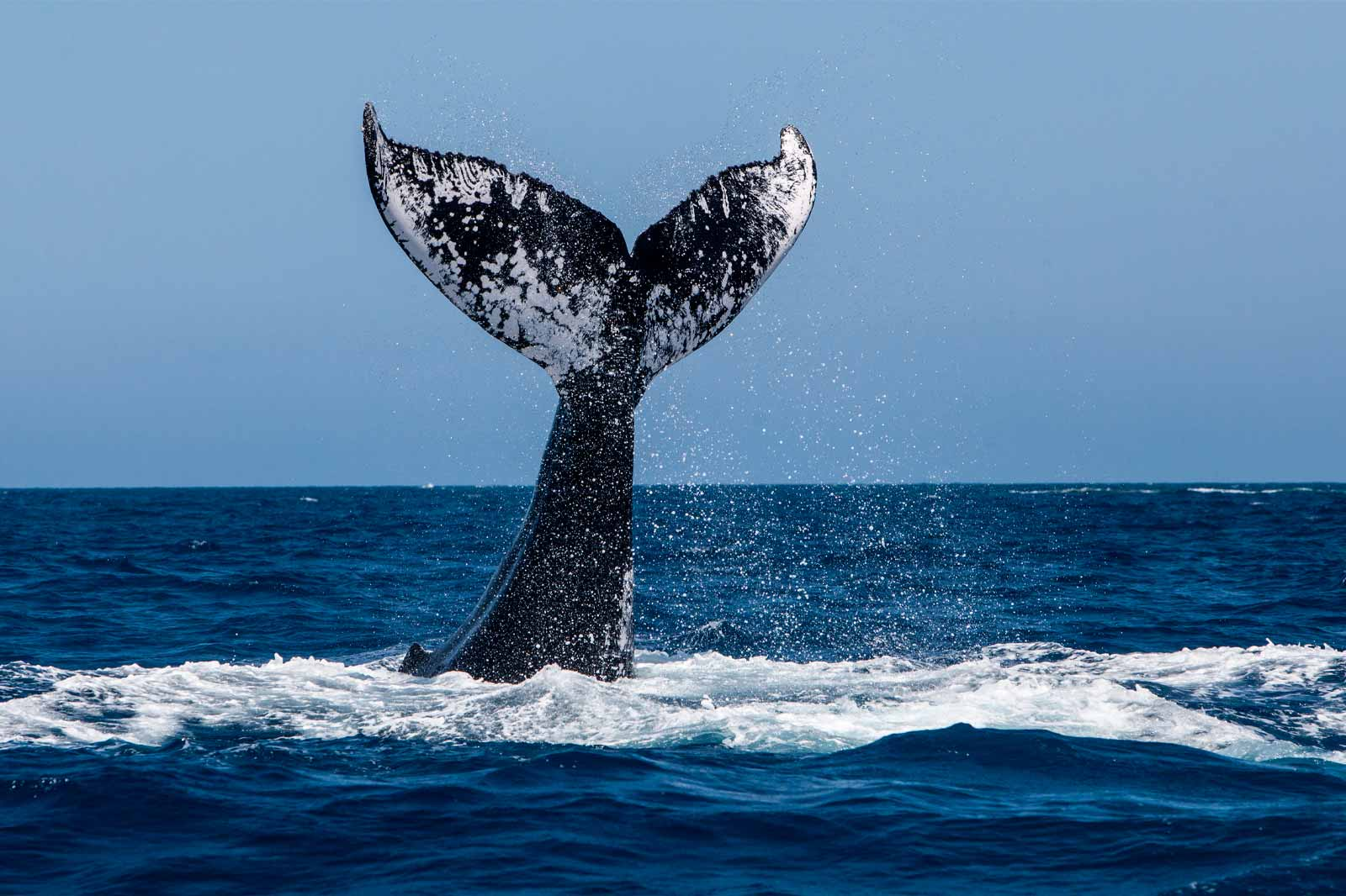 mexicofinder-travel-top-things-la-paz-baja-california-whale-watching