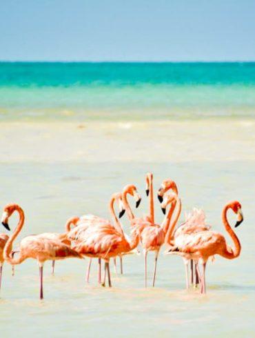 mexicofinder holbox flamingos