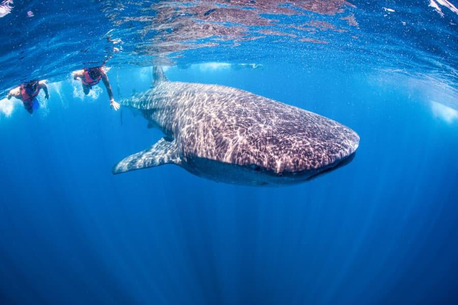 mexicofinder swim whale shark holbox