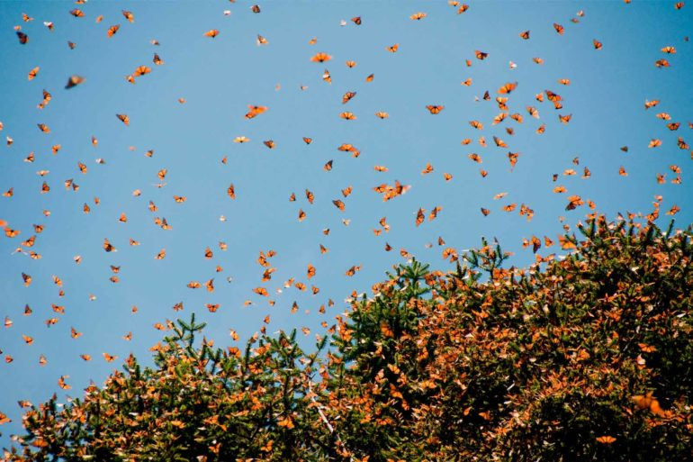 mexicofinder-travel-morelia-monarch-butterfly-biosphere-reserve-michoacan