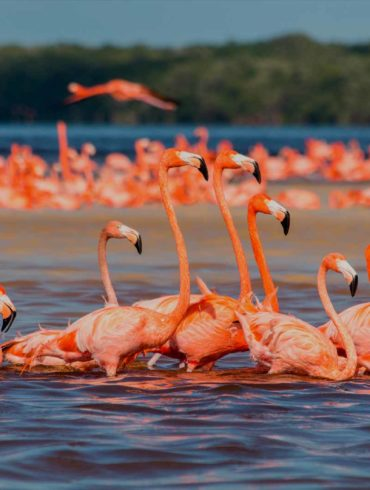 mexicofinder-travel-yucatan-celestun-flamingos
