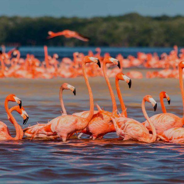 mexicofinder-travel-yucatan-celestun-flamingos