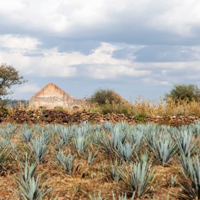 mexicofinder tequila agave guanajuato